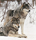 wolf_45_Cropped_127x14003